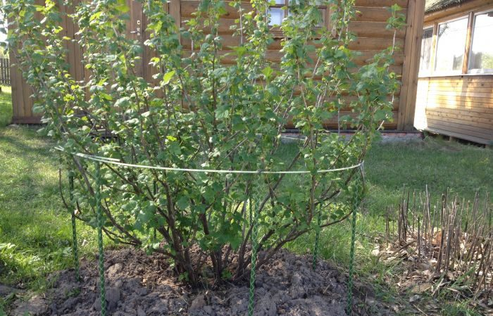 Пошаговая инструкция для начинающих садоводов: как подвязать крыжовник и сформировать куст правильно