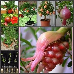 Как посадить гранат в домашних условиях из косточки, как пересадить комнатные растения, размножение семенами, черенками и другими способами