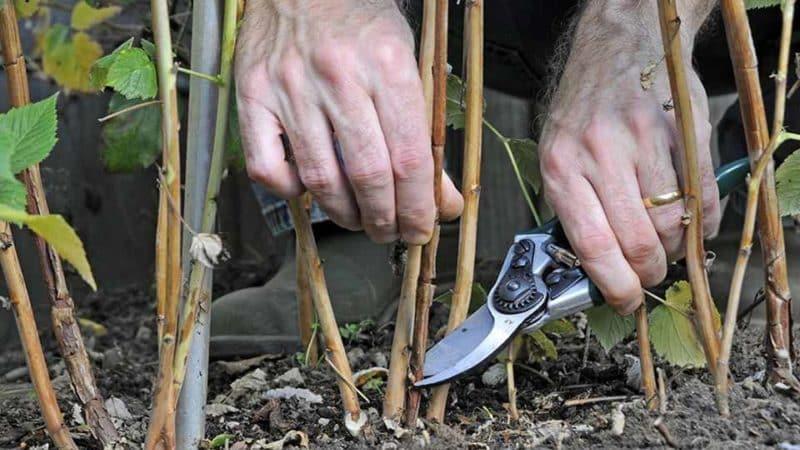 Как правильно проводить обрезку малины весной: пошаговое руководство