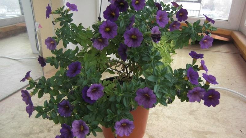2 простых способа, как сохранить петунию до весны в домашних условиях