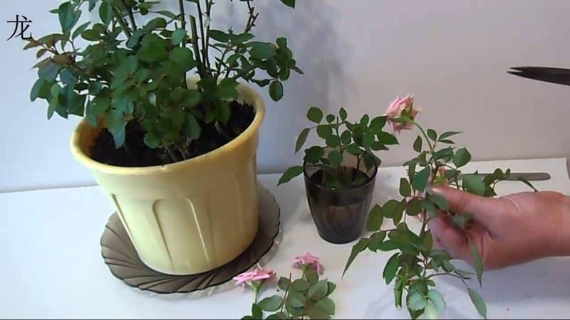 Как ухаживать за домашней розой в горшке - руководство для начинающих цветоводов
