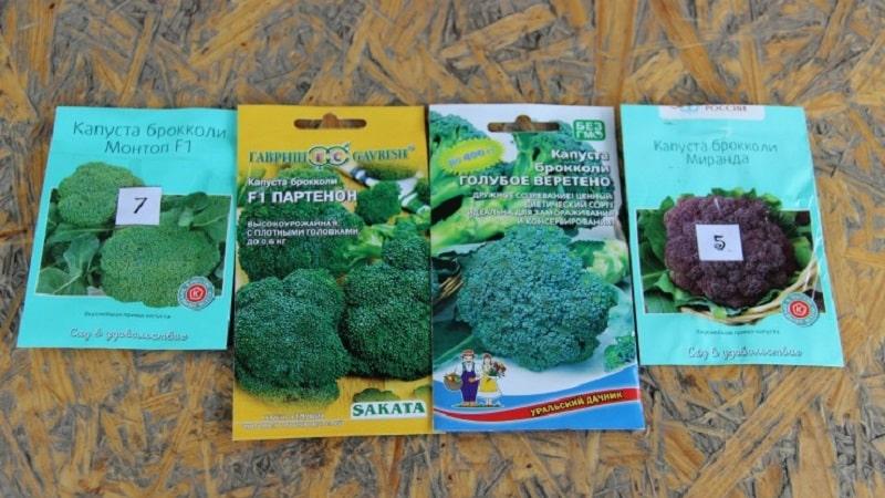 Как выращивать капусту брокколи в открытом грунте