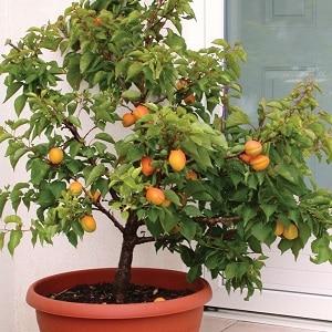 Как вырастить абрикос из косточки в горшке в домашних условиях