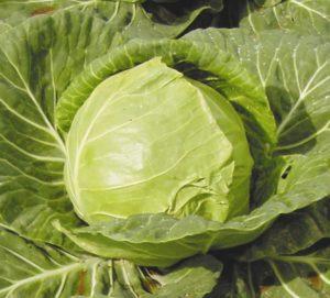 Раннеспелый неприхотливый сорт капусты Июньская