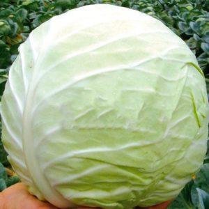 Высокоурожайный холодоустойчивый гибрид капусты Тобия f1