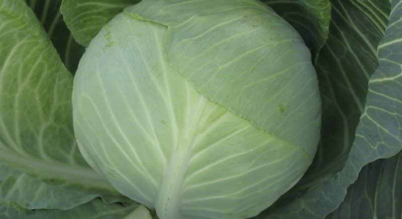 Устойчивый позднеспелый гибрид капусты Валентина f1