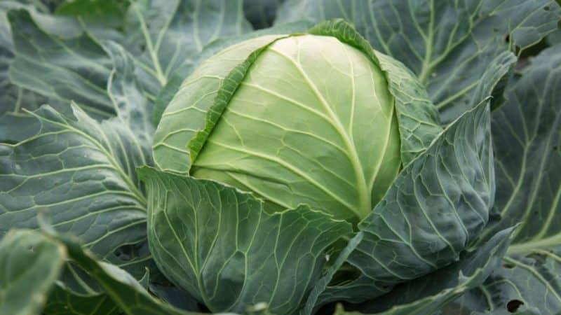 Позднеспелый сорт капусты Сахарная голова