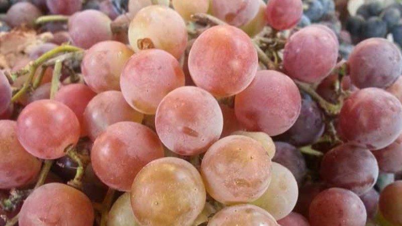 Какими свойствами должны обладать неукрывные сорта винограда и какие из них считаются лучшими
