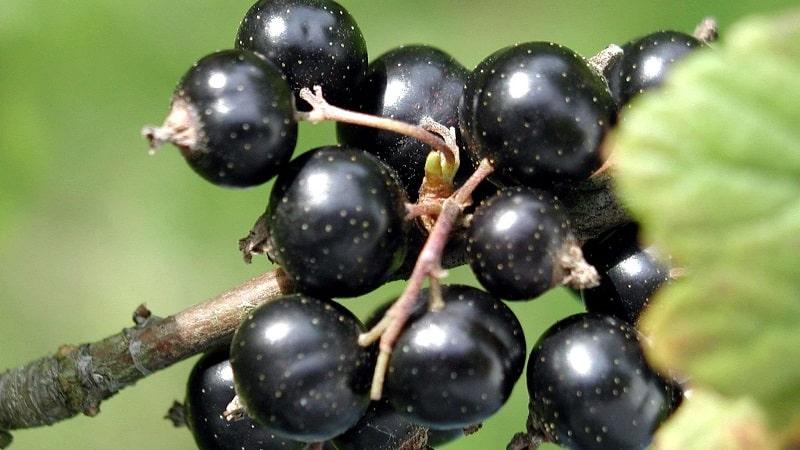 Лучшие сорта черной и красной смородины для Ленинградской области