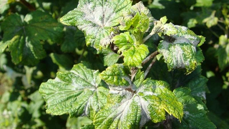 Меры борьбы с мучнистой росой на смородине, если уже появились ягоды и весной
