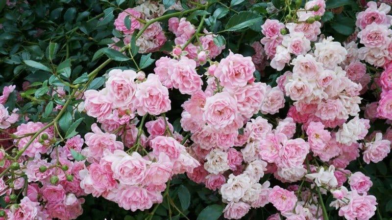Руководство по черенкованию роз осенью в домашних условиях для начинающих цветоводов