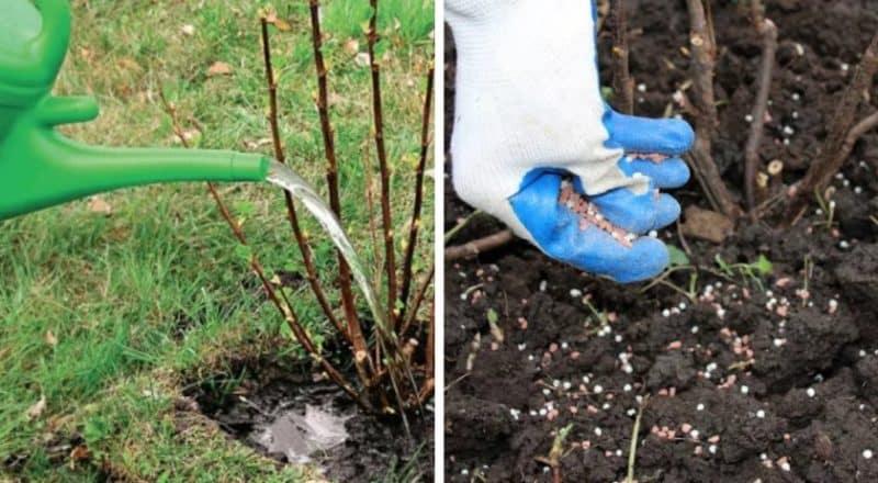 Сорта и особенности выращивания крыжовника без шипов