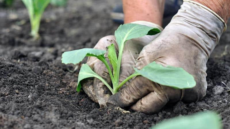 Высокоурожайный универсальный сорт капусты Вьюга