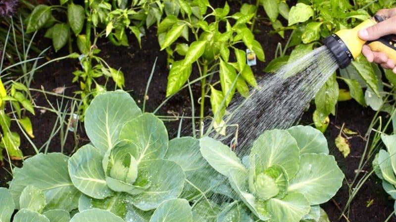 Универсальный среднеспелый сорт капусты Надежда
