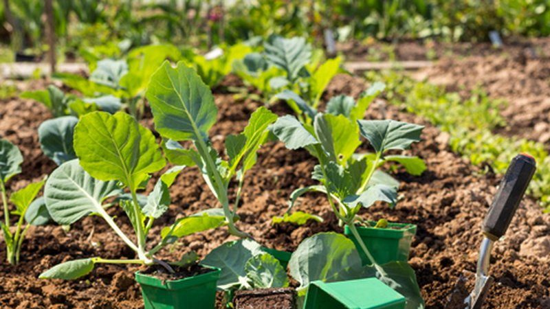 Как и когда сажать капусту на рассаду и в открытый грунт