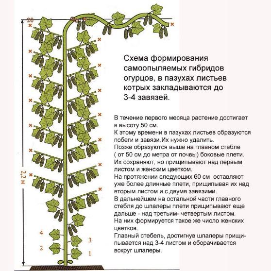 Как правильно прищипывать огурцы в теплице: правила ухода от посадки до урожая