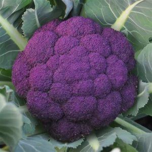 Фиолетовая цветная капуста: описание и фото