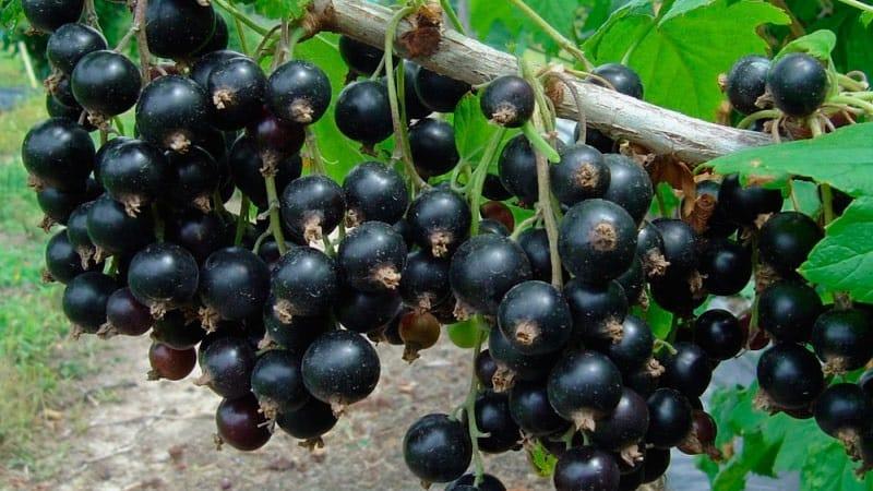 Самые сладкие сорта крупноплодной черной смородины