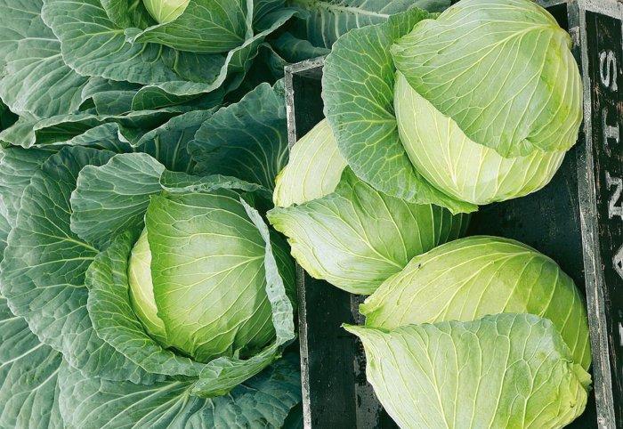 Универсальный сорт капусты Белоснежка с отменным вкусом