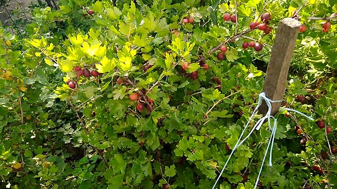 Бесшипный красноплодный сорт крыжовника Фридония