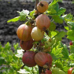 Среднепоздний сорт крыжовника Шершневский: плюсы и минусы, особенности выращивания
