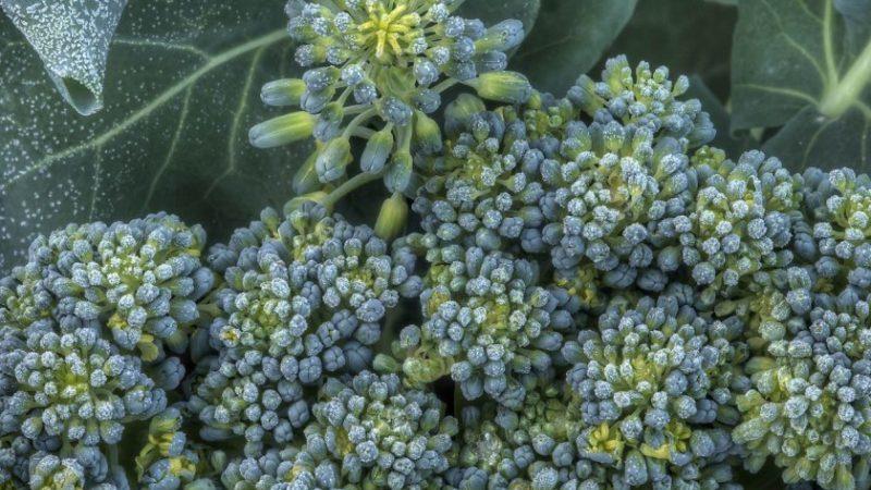 Что делать, если брокколи зацвела и как правильно выращивать капусту, чтобы это предотвратить
