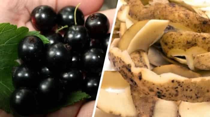 Как и чем подкормить смородину в июне: лучшие удобрения и правила их внесения