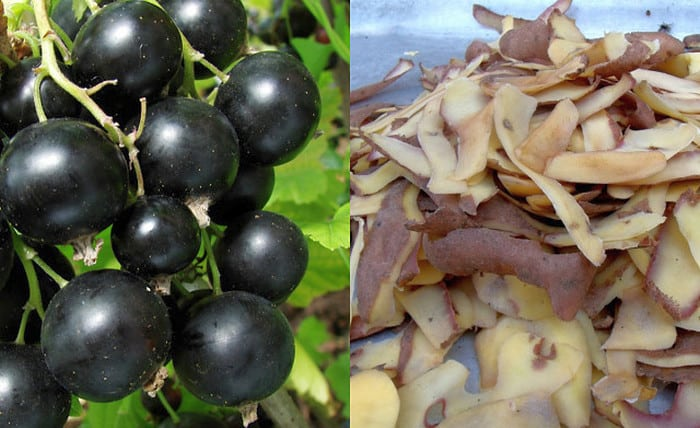 Лучшее удобрение для смородины: картофельные очистки