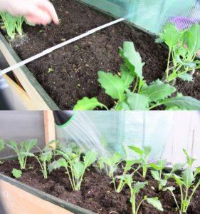Посадка, выращивание и уход за капустой кольраби