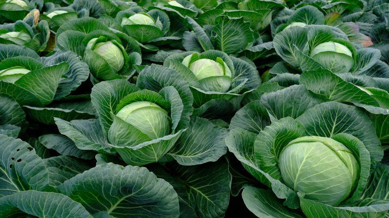 Позднеспелый гибрид капусты Колобок f1 для зимнего хранения
