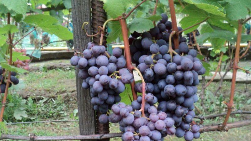 Какие сорта винограда подходят для Крыма