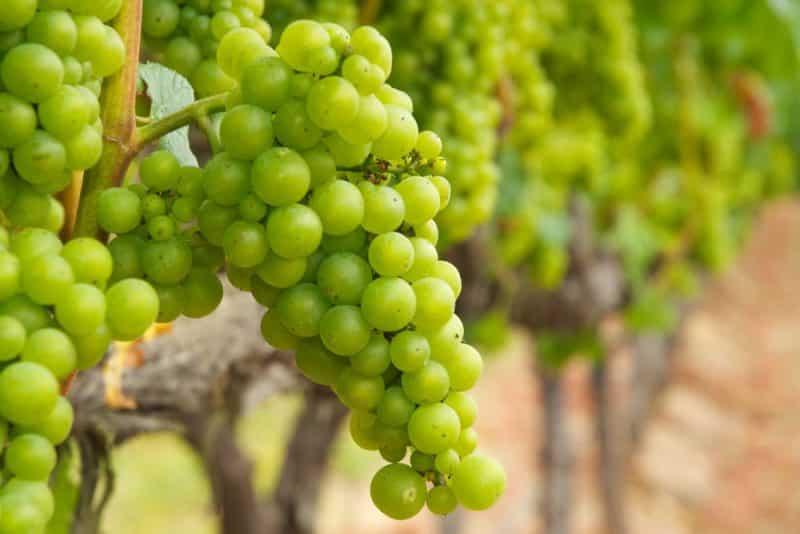 какой виноград для вина лучше