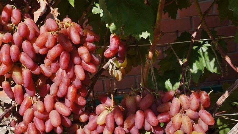 Неукрывные сорта винограда для Ленинградской области