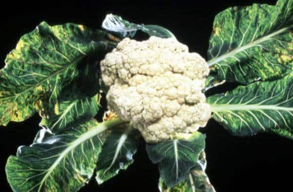 Болезни и вредители на цветной капусте и методы борьбы с ними