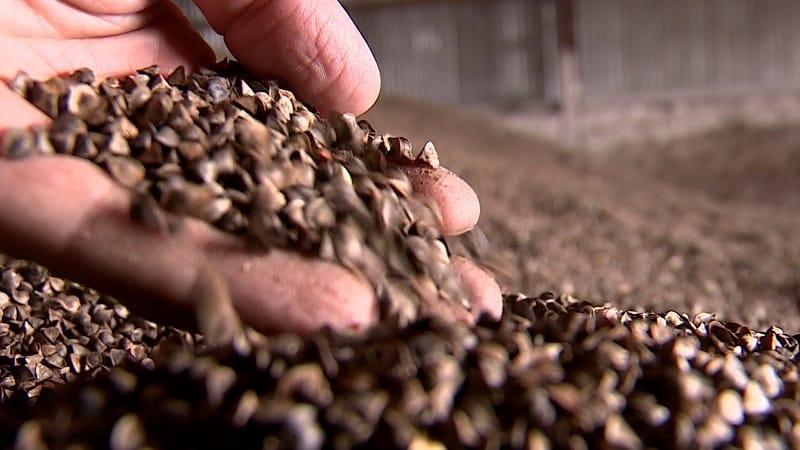 Внешний вид и подготовка семян гречки к посеву