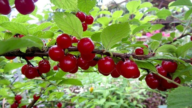 Войлочная вишня - особенности и отличия от обыкновенной