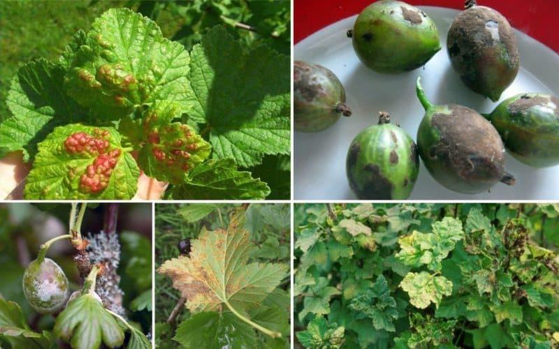 Как проводить обработку кустов смородины и крыжовника весной от вредителей и болезней