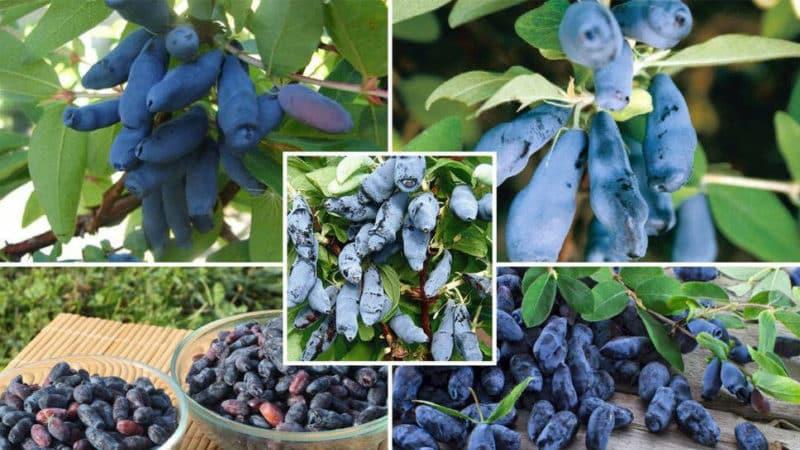 Как правильно вырастить жимолость из ягоды: пошаговая инструкция