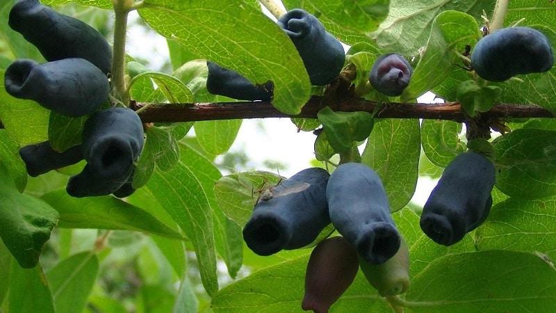 Жимолость бакчарская - характеристики, описание, урожайность