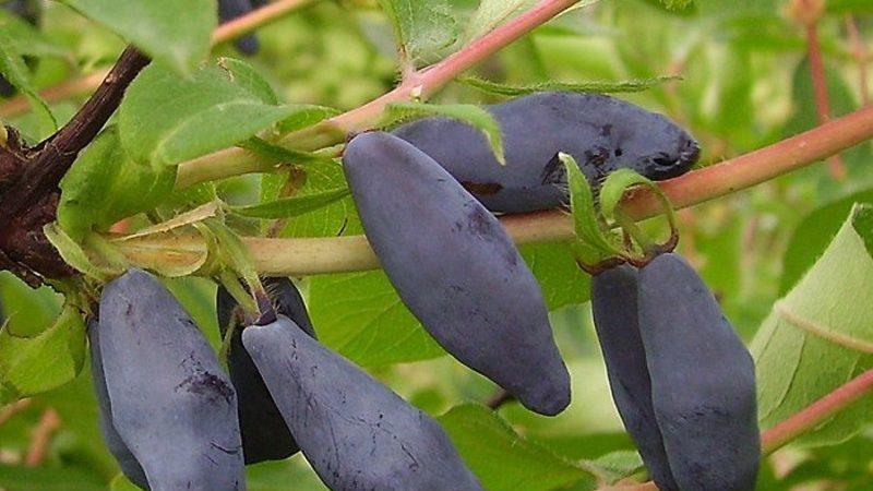 Неприхотливый в выращивании сорт жимолости Синяя птица