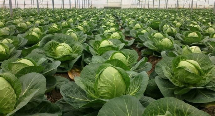 Позднеспелый высокоурожайный гибрид капусты Атрия f1