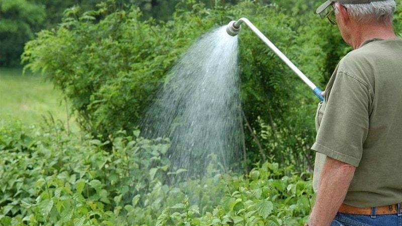 Тля на жимолости: чем обработать, чтобы не погубить урожай
