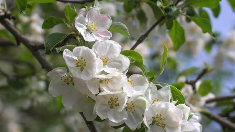 Как, когда и чем опрыскать яблони весной от вредителей и болезней