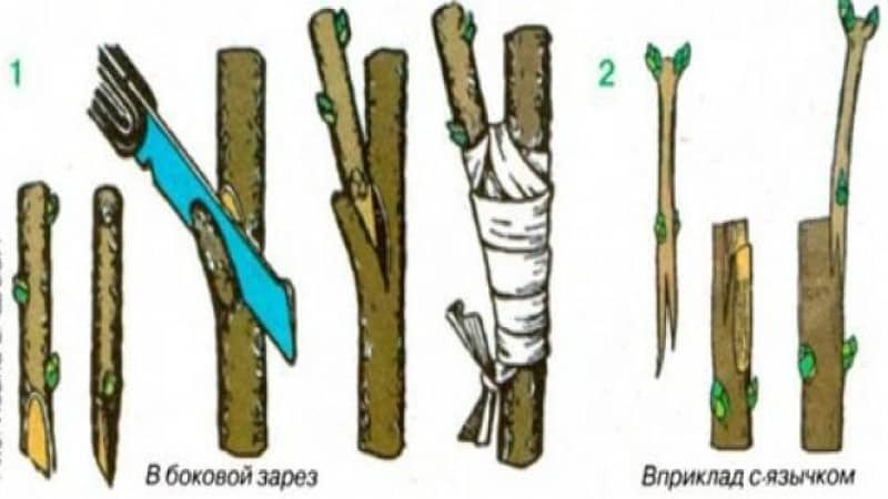 Выращивание крыжовника на штамбе