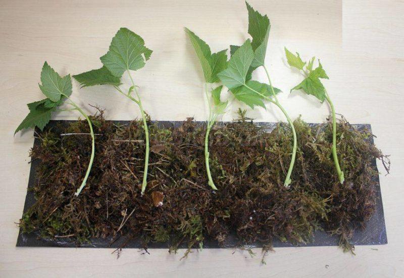 Как вырастить в своем саду сорт черной смородины Багира и чем он хорош
