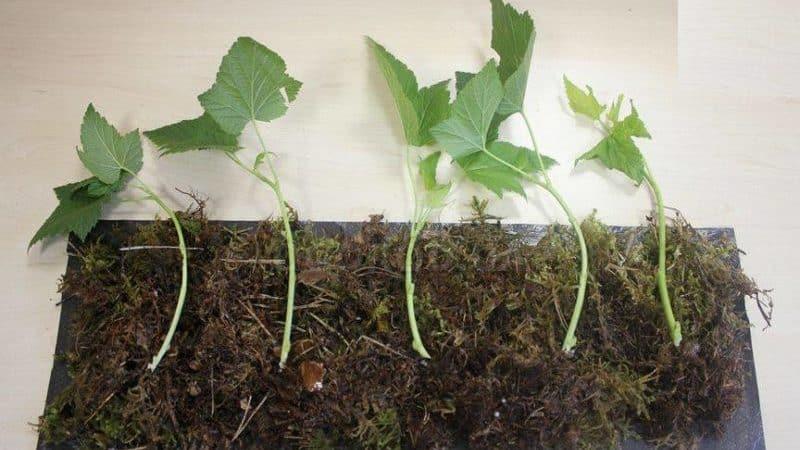 Как правильно размножать смородину весной черенкованием, чтобы она прижилась