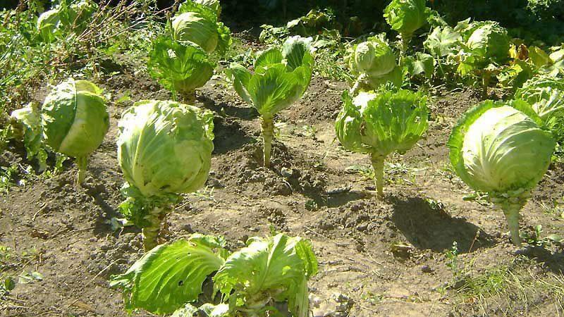 Нужна ли подкормка капусты для завязывания кочанов