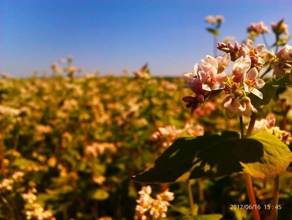 В каких странах выращивают и любят есть гречку, а также где растет лучшая гречиха