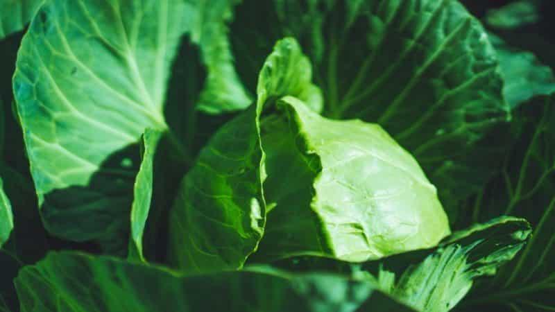 Раннеспелый гибрид капусты Парел f1