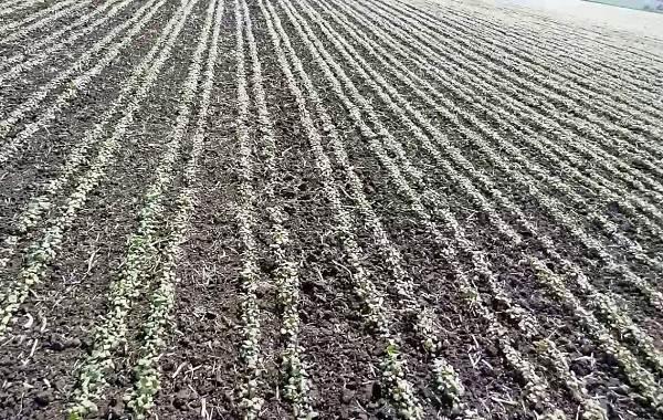 Как посеять гречиху в Кемеровской области: оптимальные сроки и нормы высева